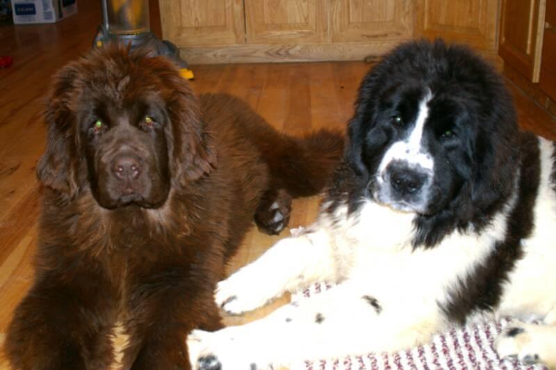 Idaho Newfoundlands, Newfoundland breeders Idaho